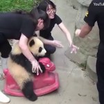 Panda playing on pink rocking horse