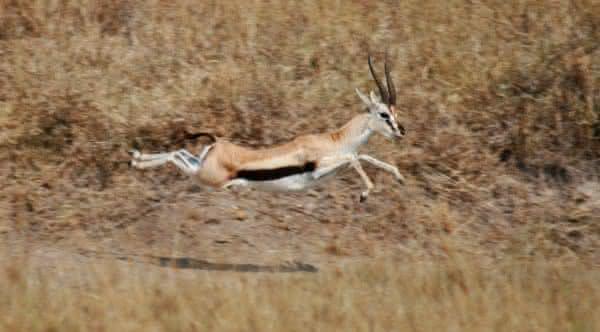 gazela thompson entre os animais mais velozes do mundo