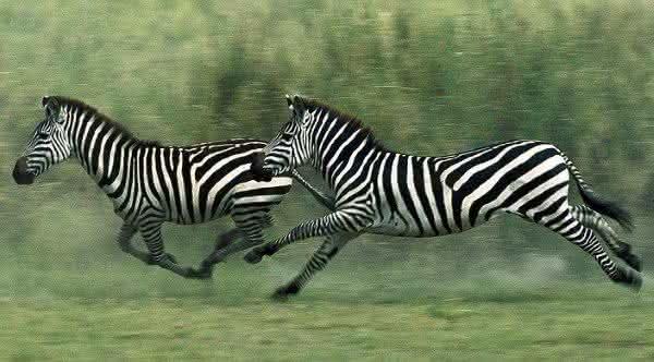 zebra e um dos animais mais rápidos