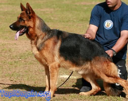 pastor alemao entre as raças de cães mais perigosas