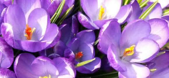 flor de acafrao