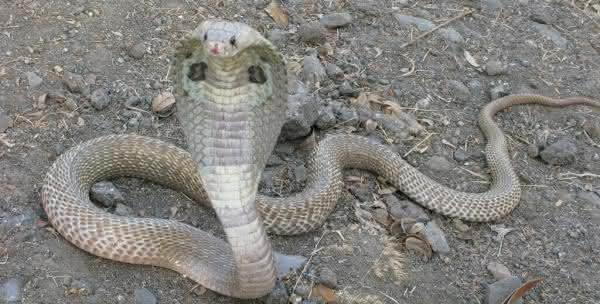 Naja cobras venenosas