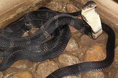 cobra real maior cobra do mundo