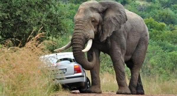 elefante um dos animais mais perigosos