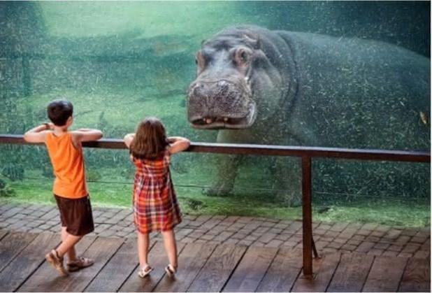 hipopotamo é um dos animais mais perigosos