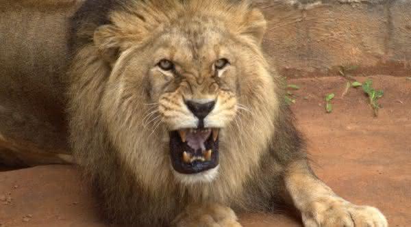 leao africano um dos animais mais perigosos do planeta