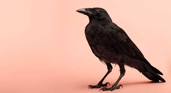 corvo entre os animais mais inteligentes