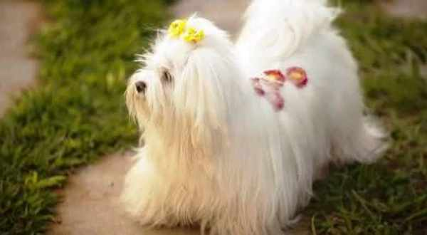 maltes um dos cães mais doceis do mundo