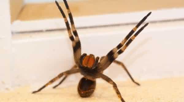 Aranha armadeira entre os animais mais perigosos do mundo