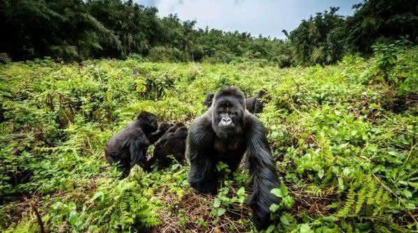 gorila entre os animais mais fortes do mundo