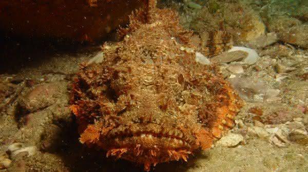 peixe pedra um dos animais mais perigosos do planeta