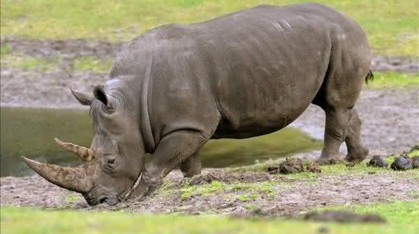 rinoceronte de java animais mais ameaçados de extinção