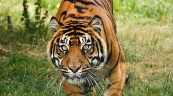tigres extintos