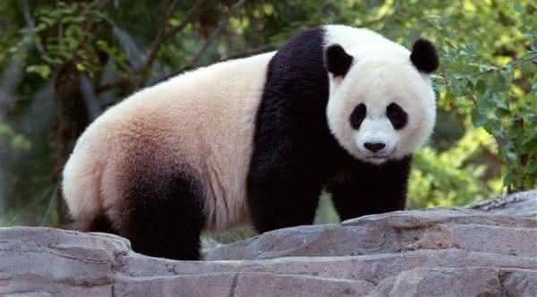 urso panda animais mais ameaçados de extinção