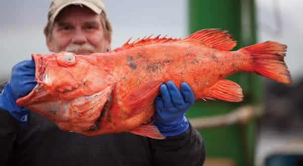 Rougheye Rockfish peixe de vida mais longa