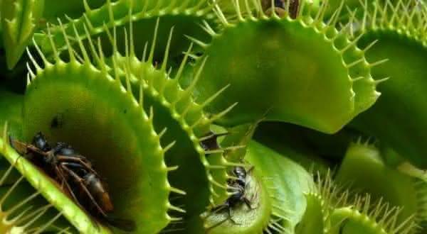 plantas vevenosas venus fly trap