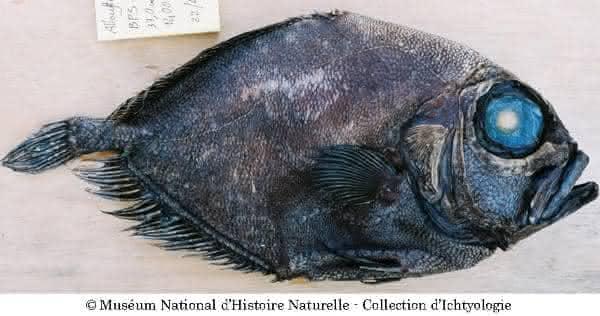 warty oreo peixe
