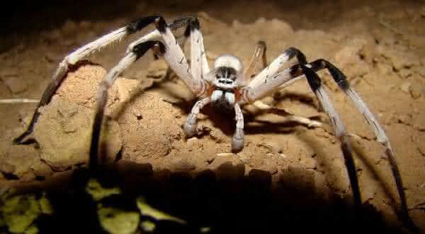 Cerbalus aravensis entre as maiores aranhas do mundo
