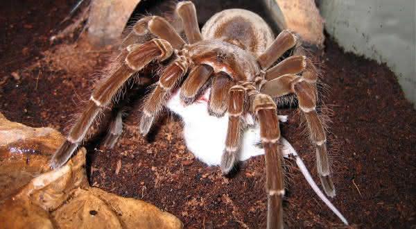 Goliath Birdeater Tarantula uma das aranhas mais perigosas do mundo