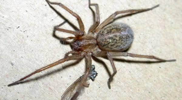 Hobo aranha entre as mais perigosas