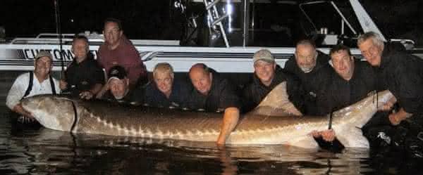 White Sturgeon entre os maiores peixes de agua White Sturgeon entre os maiores peixes de agua doce do mundo