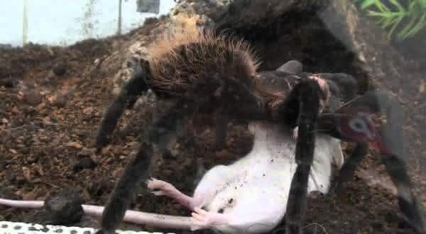 Xenesthis immanis uma das maiores especies de aranhas do mundo