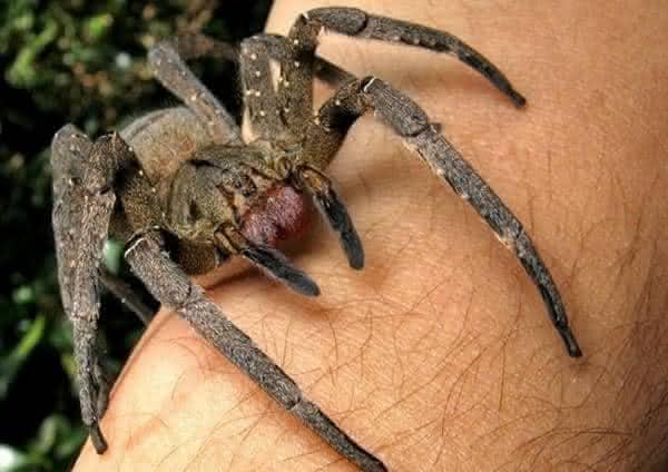 armadeira entre as maiores aranhas do mundo