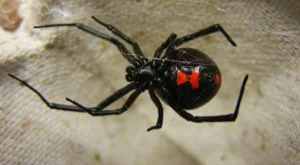 viuva negra entre as aranhas mais perigosas