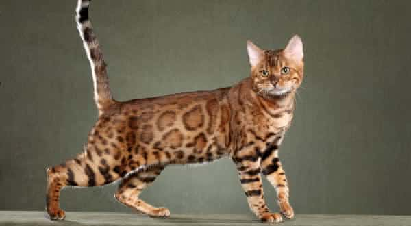 Bengal Cats entre as racas de gatos mais caras do mundoBengal Cats entre as racas de gatos mais caras do mundo