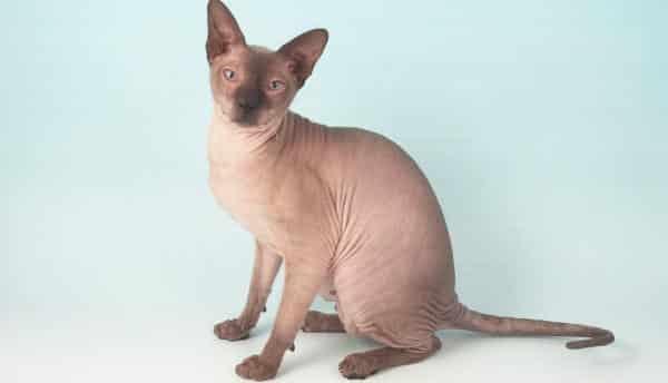 Peterbald entre as racas de gatos mais caras do mundo