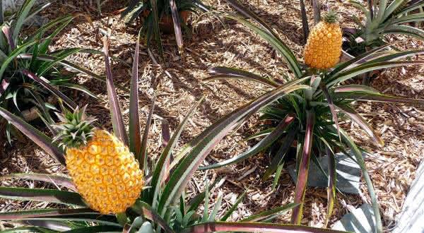 abacaxi pit entre as frutas mais caras do mundo