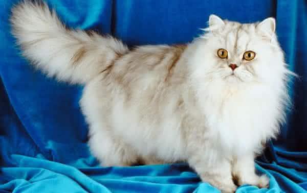 raca persa entre as racas de gatos mais caras do mundo