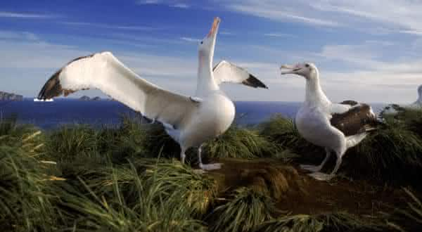Albatroz-errante entre as maiores especies de passaros do mundo