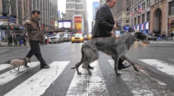 Deerhound entre as maiores racas de caes do mundo