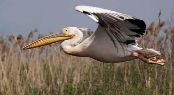 Pelicano-branco entre as maiores espécies de pássaros do mundo