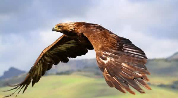 aguia real entre os maiores passaros do mundo