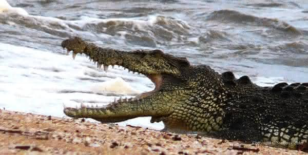 crocodilo-de-agua-salgada entre as mordidas mais poderosas