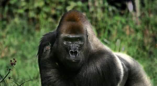 gorila entre as mordidas mais poderosas