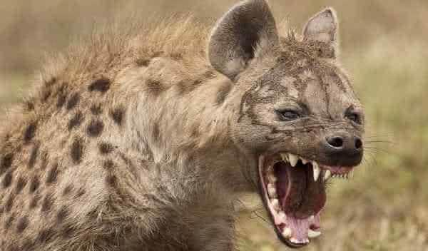hiena entre as mordidas mais poderosas