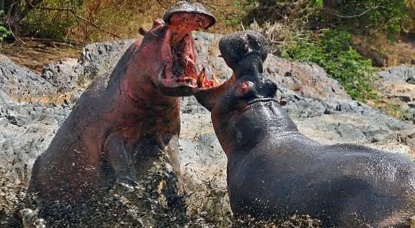 hipopotamo entre os animais que mais matam pessoas
