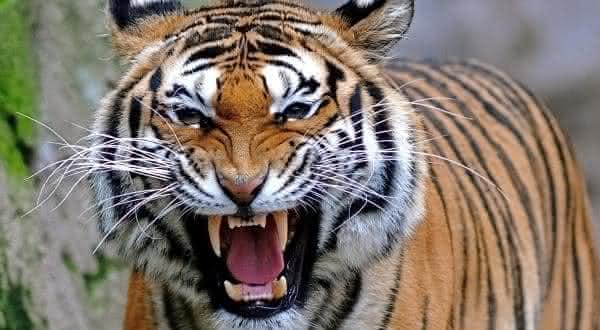 tigre entre as mordidas mais poderosas