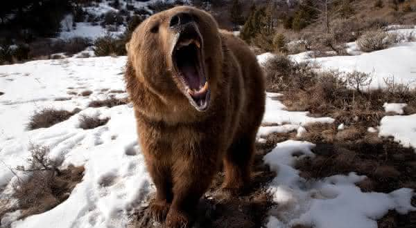urso pardo entre os animais mais fortes do mundo