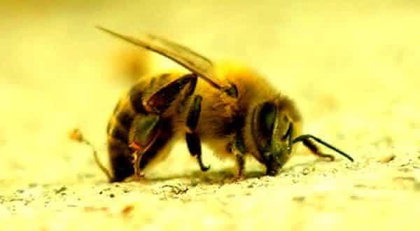Abelhas entre as picadas mais dolorosas do mundo