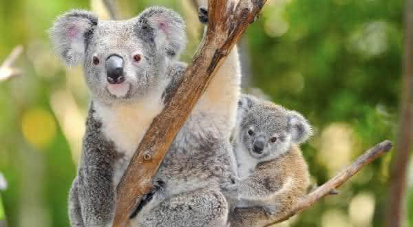 coala entre os animais mais lentos do mundo