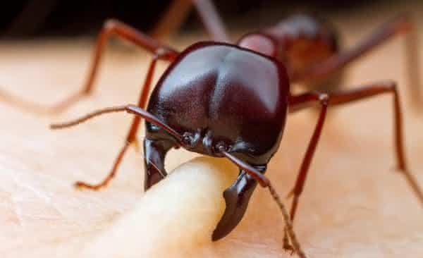 formigas dorilus entre os insetos mais perigosos do mundo