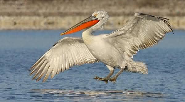 pelicano crespo entre as maiores aves do mundo