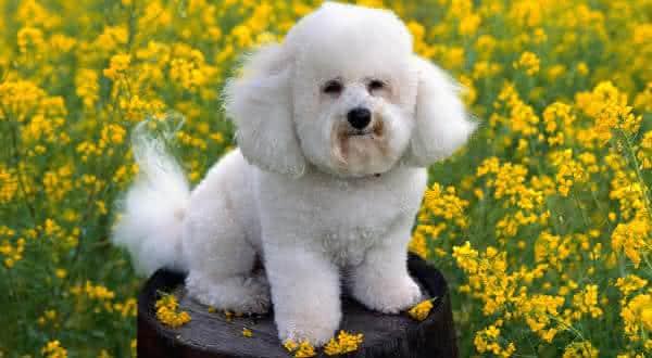 Bichon Frise entre as menores racas de cachorros do mundo