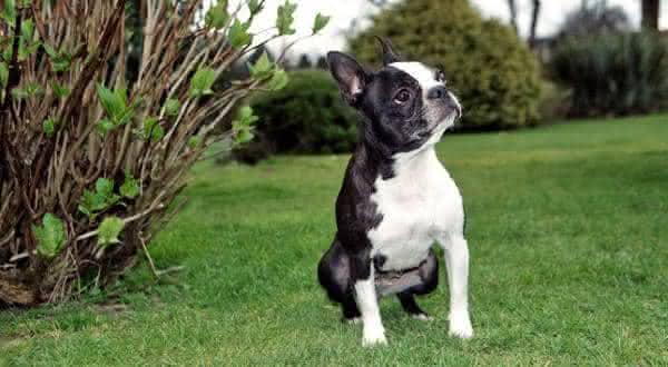 Boston Terrier entre as menores racas de caes do mundo