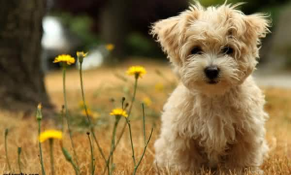 Toy Poodle entre as menores racas de caes do mundo