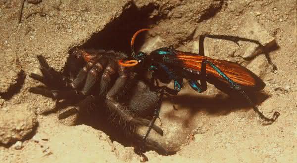 Vespa cacadora entre os maiores insetos do mundo